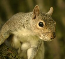 Grey Squirrel by Franco De Luca Calce