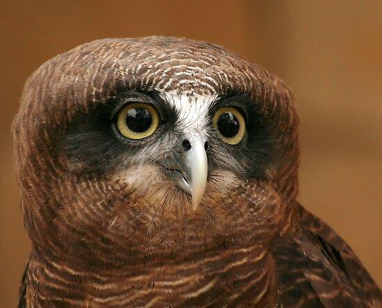 Rufous owl - photo#1