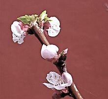 Apricot Blossom (Haiku 1 - 4) by aaeiinnn