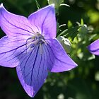 Balloon Flower by Saffron2287