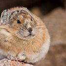 STOCK-Perching Pika by Jay Ryser