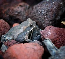 Tiny Toad by Colleen Drew