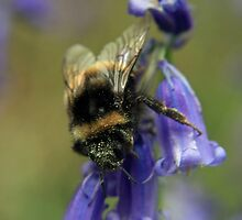 Bumble On The Bluebell by Darren Buss