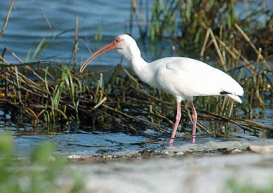 Ibis stalking by Larry  Grayam