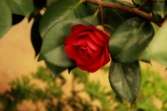 Camellia Victorian Style by Elaine Teague