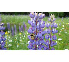 Busy Bee in the Meadow, Purple Lupins in Vermont Photographic Print