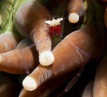Commensal Shrimp by Marcel Botman