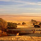 Sheep Grazing at Sunset - Kanmantoo, South Australia by Mark Richards