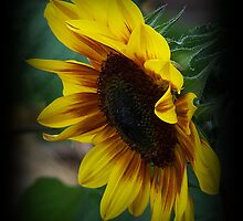 Sunflower Side Shot by Jonice