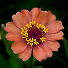 Peach Zinnia by caroleann1947