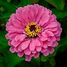 Pink Zinnia by caroleann1947