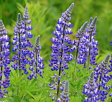 Arctic Lupine by Vickie Emms