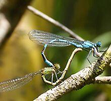 Damsel Flys mating by Ben  Warren