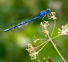 Blue Dragonfly by Theresa Elvin