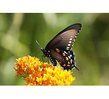 Black Tiger Swallowtail Photographic Print
