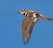 Killdeer in Flight by Marvin Collins
