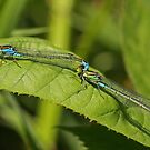 Small Red-Eyed (Tandem) by Robert Abraham