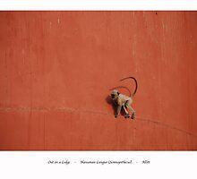 Out On A Ledge * Hanuman Langur by sharon allitt