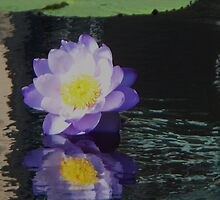 Water Lily  by schiabor