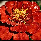 Red marigold by Sheri Nye