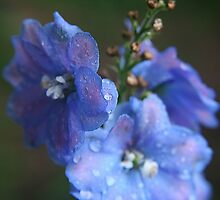 Delphinium by jeffrae