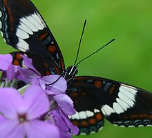White Admiral Butterfly by marilynwood