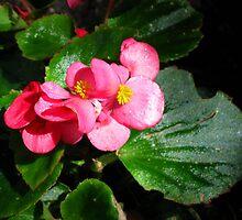 Begonia Shimmer by Marta Boulden
