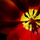 Tulip in Thirds by jojocraig