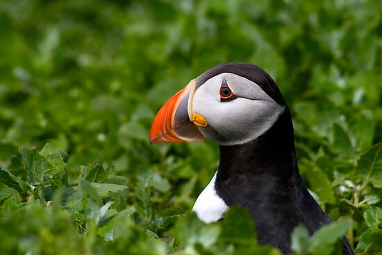 Puffin in Greenery by David Lewins
