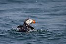 Puffin bathing by David Lewins