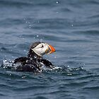 Puffin bathing by David Lewins LRPS