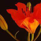 Orange Delight by Barbara Manis