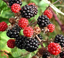 Blackberries by AnnDixon