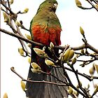 King Parrot in Magnolia Tree - Drouin, Australlia by Bev Pascoe