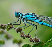Azure Damselfly by Nigel Kendall