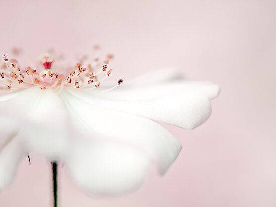 Vanilla Rose by Jacky Parker