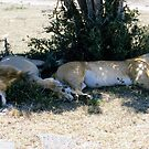 Lazy lions by David Clarke