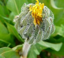 wild sunflower bud by tego53