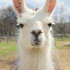 Are You My Llama? by Darlene Virgin