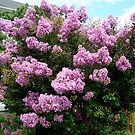Lilacs in Bloom ^ by ctheworld