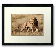 Male lion - Okavango Delta, Botswana Framed Print