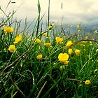 Stormy Buttercups. by Lewkeisthename