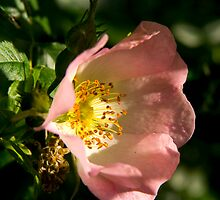 Wild Rose by Theresa Elvin