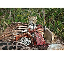 Leopard  in a carcass - Botswana Photographic Print