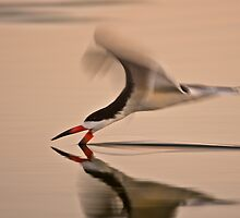 Black Skimmer Solo by David Orias