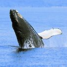 Baby Humpback Whale Breaching by Gina Ruttle  (Whalegeek)