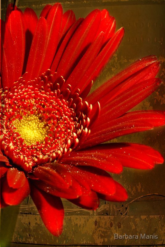 Simply Red by Barbara Manis