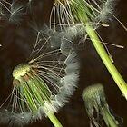 Spiky dandelion by Margaret Hockney