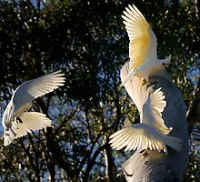 3 Corellas in flight  by John  Spry