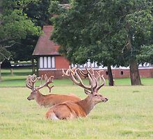 Stags at rest by VRobinson